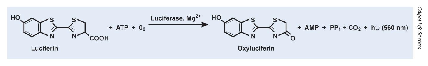 Figure 1 Molecular diagrams, luciferin, luciferase Md2+, Oxyluciferin
