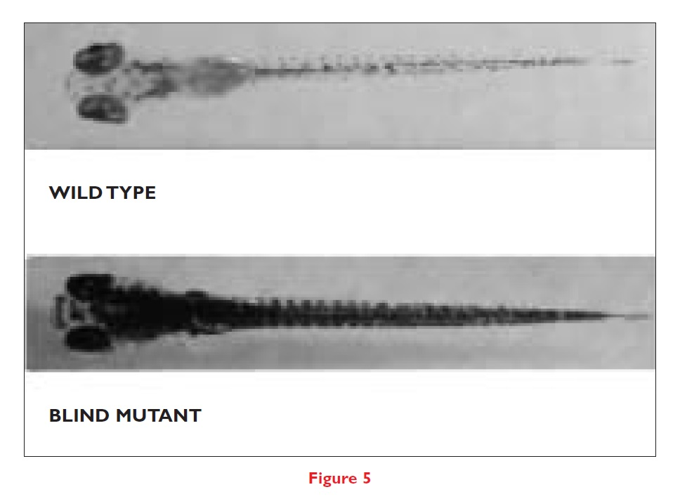 Figure 5 Wild type and blind mutant zebrafish