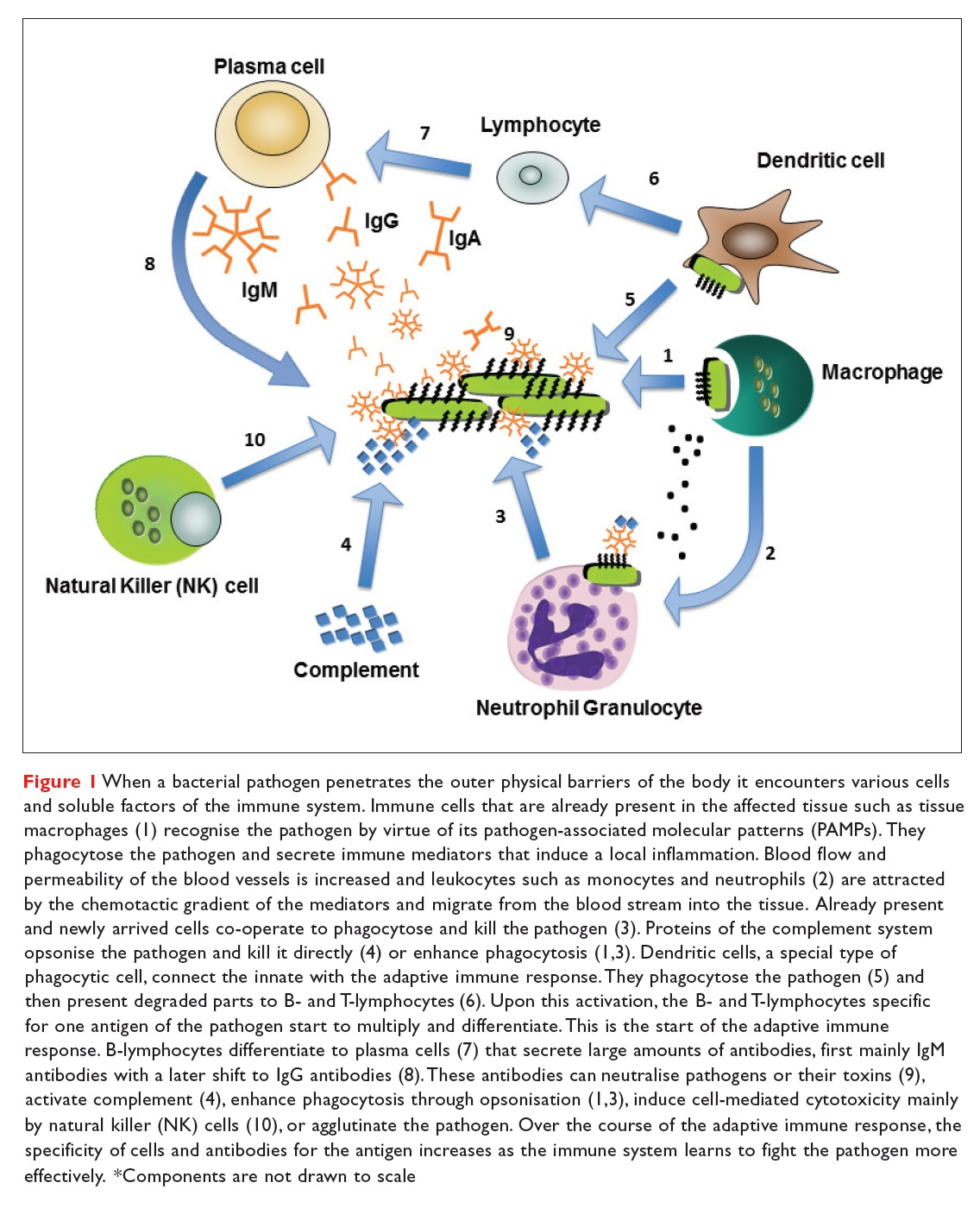 Figure 1 When a bacterial pathogen penetrates the outer physical barriers of the body it encounters various cells and soluble factors of the immune system