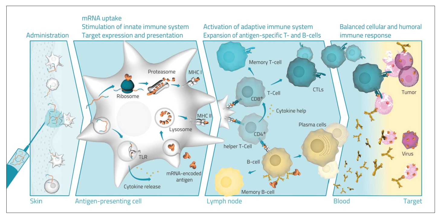 Figure 1, RNA based drugs, Diagram of Administration, mRNA uptake, activation of adaptive immune system, and balanced cellular and humoral immune response