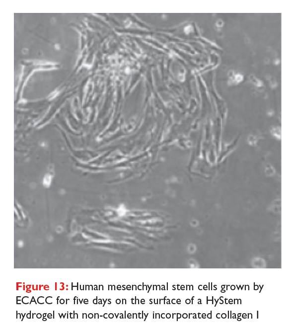 Figure 13 Human mesenchymal stem cells grown by ECACC for five days on the surface of a HyStem hydrogel