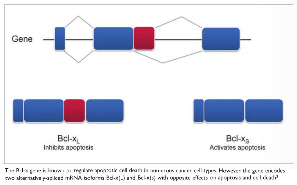 Image 2 The Bcl-x gene diagram