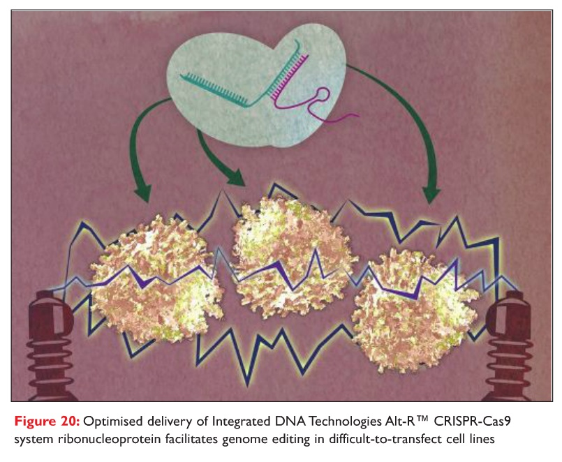 Figure 20 Optimised delivery of integrated DNA technologies Alt-R CRISPR-Cas9 system ribonucleoprotein facilitates genome editing in difficult-to-transfect cell lines