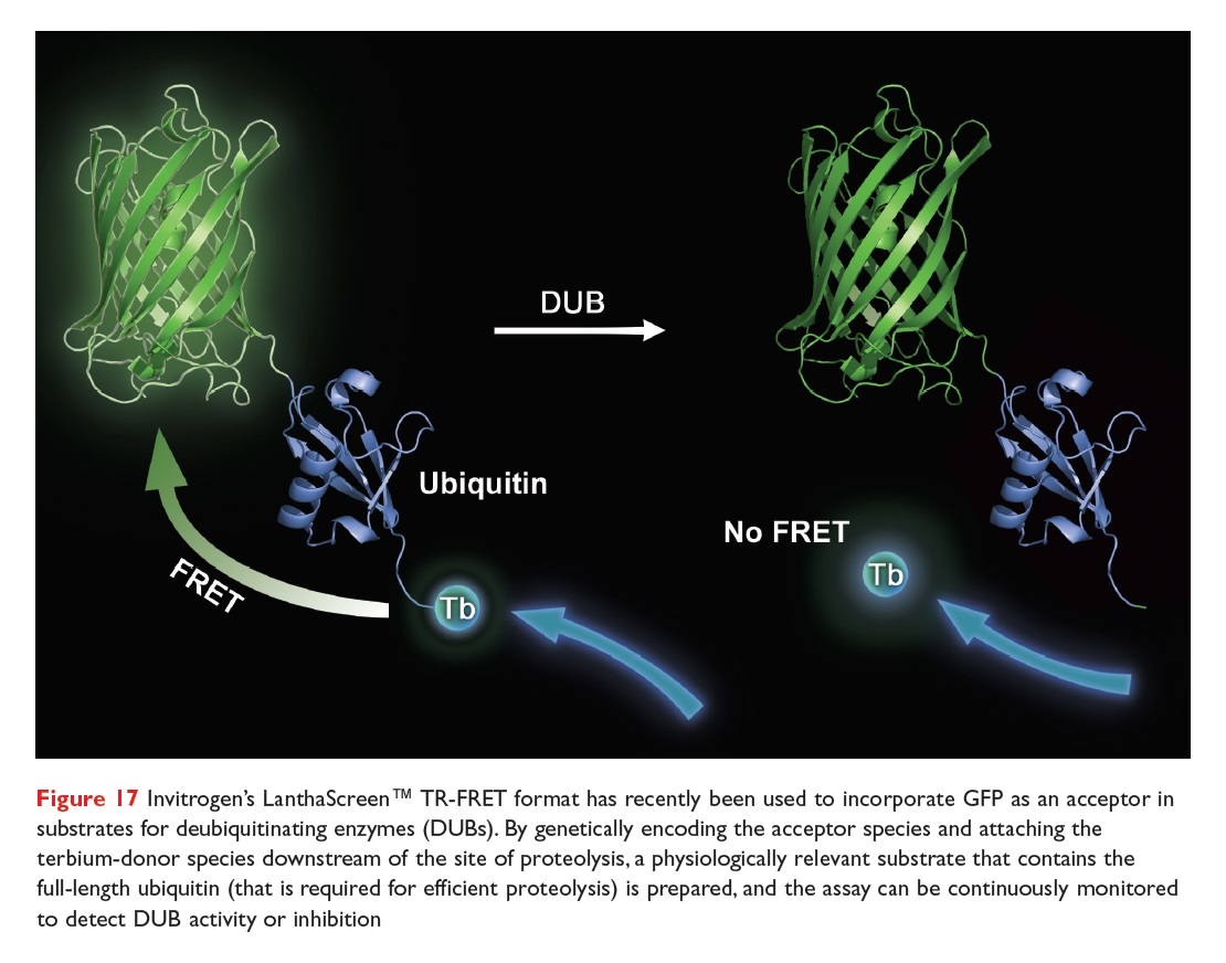 Figure 17 Invitrogen's LanthaScreen TR-FRET format has recently been used to incorporate GFP as an acceptor in substrates for DUBs