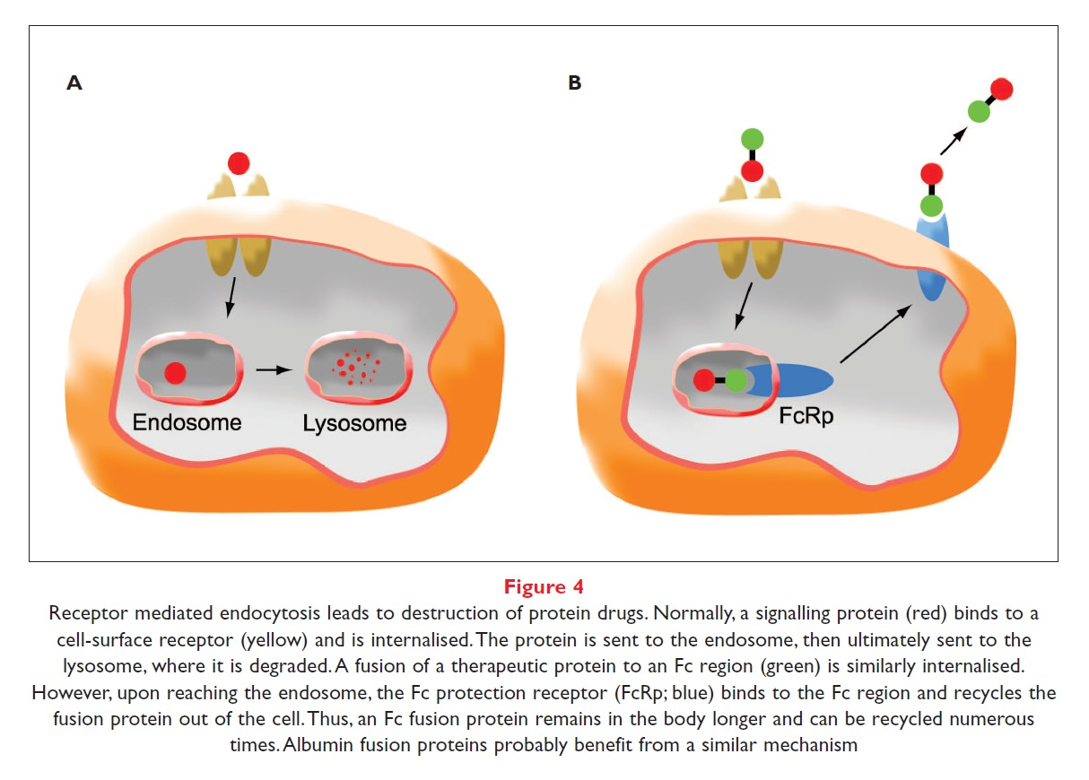 Figure 4 Receptor mediated endocytosis leads to destruction of protein drugs
