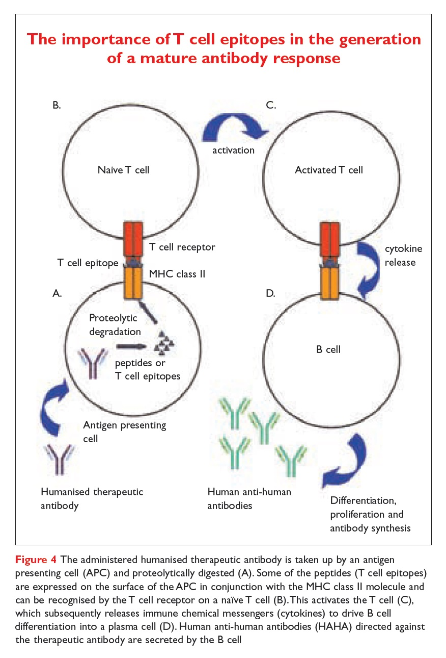 Figure 4 The importance of T cell epitopes in the generation of a mature antibody response