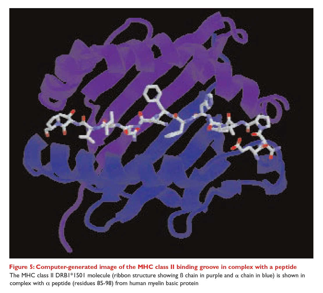 Figure 5 Computer generated image of the MHC class II binding groove in complex with a peptide