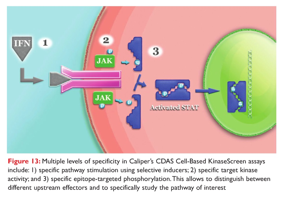 Figure 13 Multiple levels of specificity in Caliper's CDAS Cell-Based KinaseScreen assays