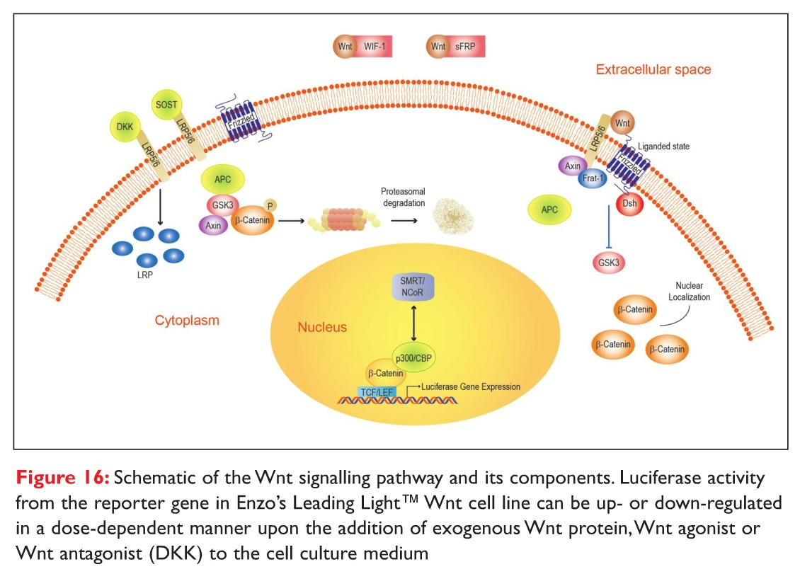 Figure 16 Schematic of the Wnt signalling pathway and its components