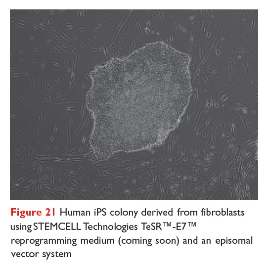 Figure 21 Human iPS colony derived from fibroblasts using STEMCELL Technologies TeSR -E7 reprogramming medium and an episomal vector system