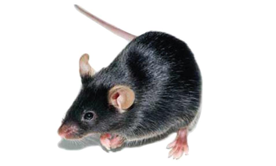 Image 1 B6 Mouse Image