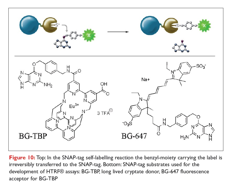 Figure 10 In the SNAP-tag self-labelling reaction the benzyl-moiety carrying the label is irreversibly transferred to the SNAP-tag