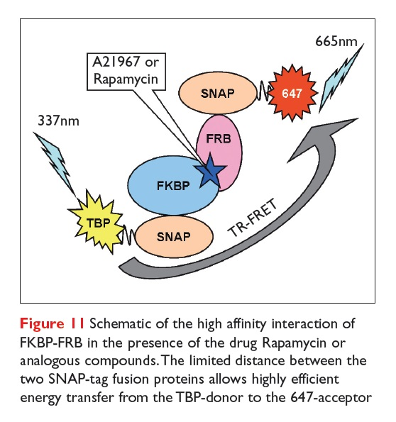 Figure 11 Schematic of the high affinity interaction of FKBP-FRB in the presence of the drug Rapamycin or analogous compounds