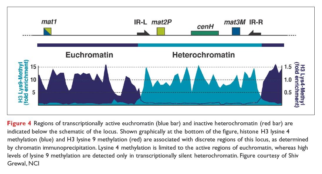 Figure 4 Regions of transcriptionally active euchromatin and inactive heterochromatin