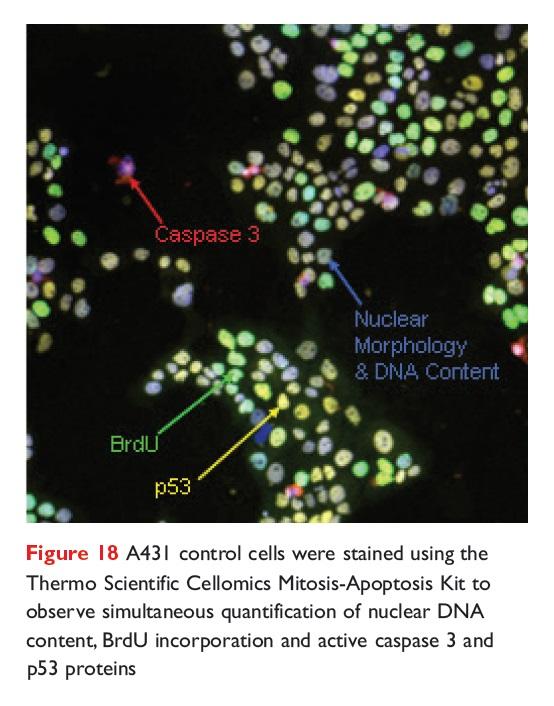 Figure 18 A431 control cells were stained using the Thermo Scientific Cellomics Mitosis-Apoptosis Kit