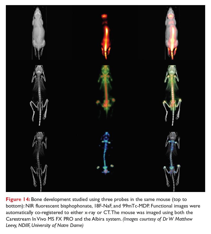 Figure 14 Bone development studied using three probes in the same mouse, NIR fluorescent bisphophonate, 18F-NaF, and 99mTc-MDP