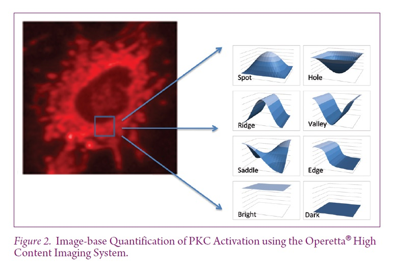 Figure 2 Image-base Quantification of PKC Activation using the Operetta High Content Imaging System