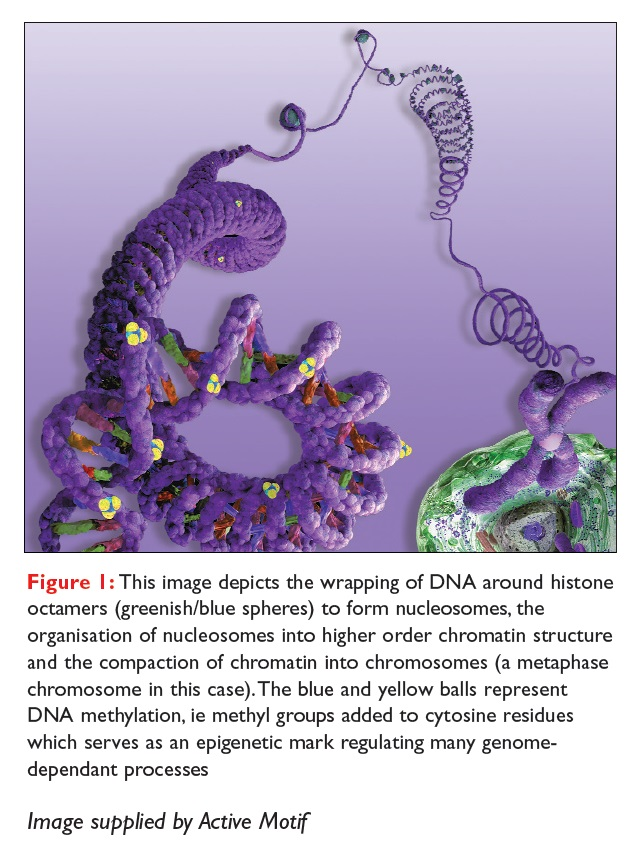 Figure 1 This image depicts the wrapping of DNA around histone octamers to form nucleosomes