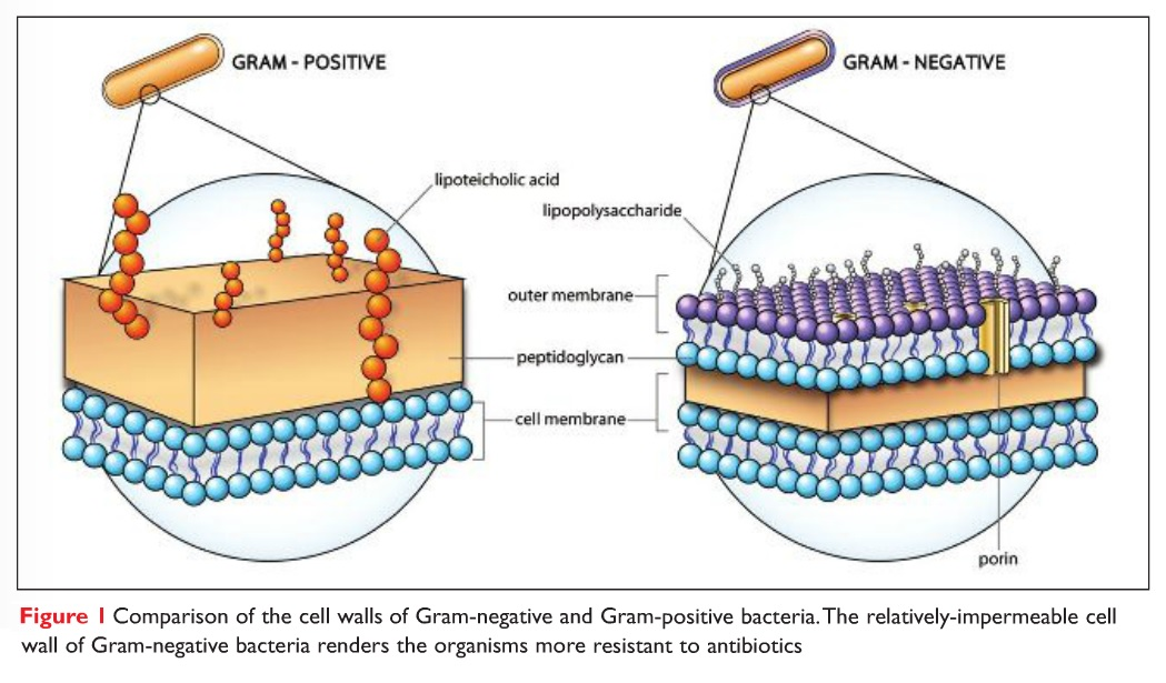Figure 1 Comparison of the cell walls of Gram-negative and Gram-positive bacteria
