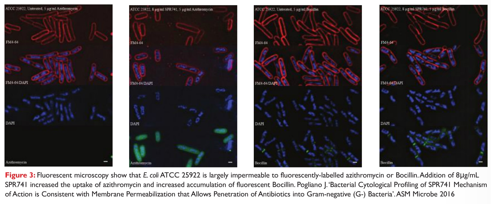 Figure 3 Fluorescent microscopy show that E. colo ATCC 25922 is largely impermeable to fluorescently-labelled azithromycin or Bocillin
