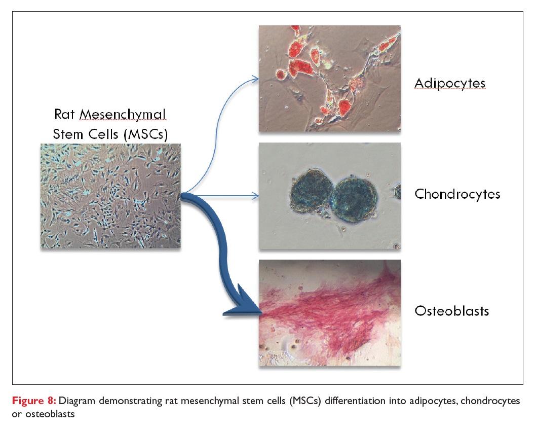 Figure 8 Diagram demonstrating rat mesenchymal stem cells (MSCs) differentiation into adipocytes, chondrocytes or osteoblasts