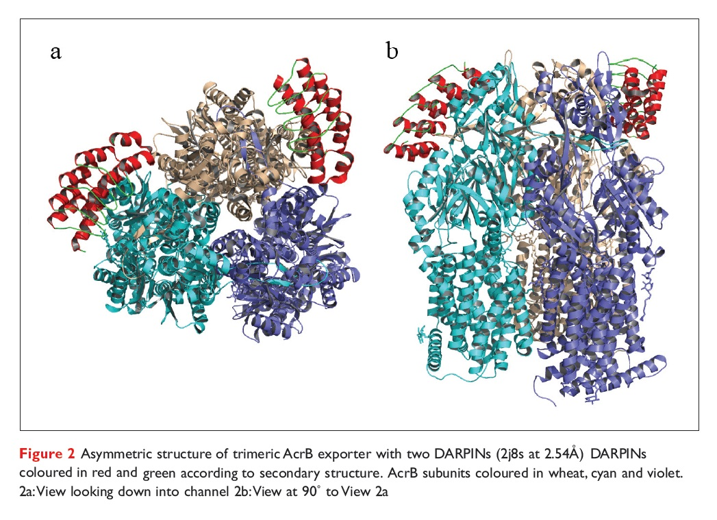 Figure 2 Asymmetric structure of trimeric AcrB exporter with two DARPINs