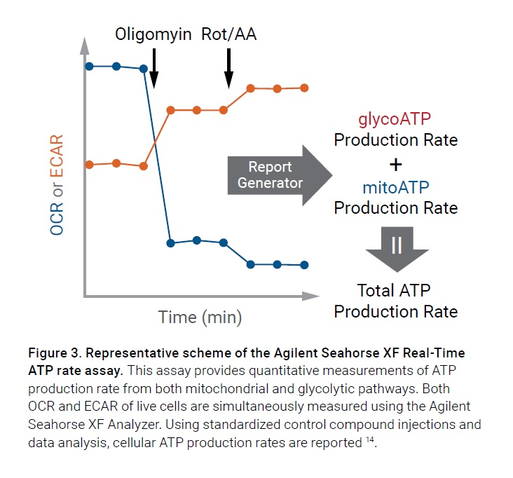 Figure 3 Representative scheme of the Agilent Seahorse XF Real-Time ATP rate assay