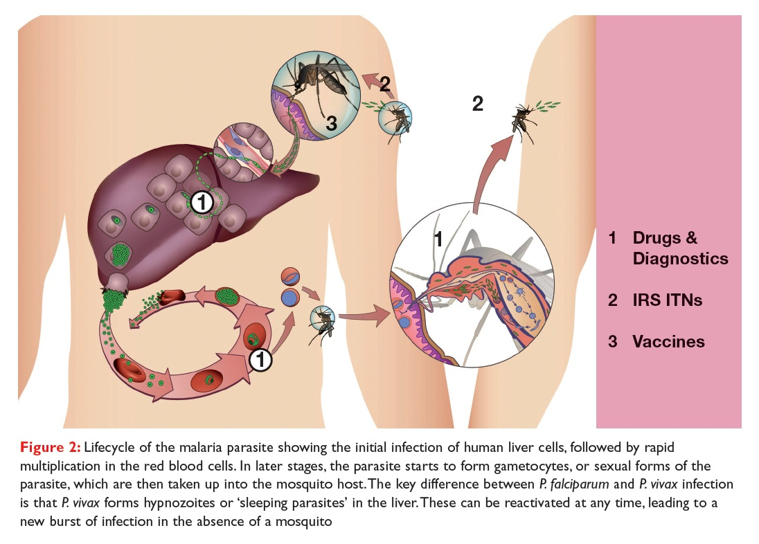Figure 2 Lifecycle of the malaria parasite showing the initial infection of human liver cells, followed by rapid multiplication
