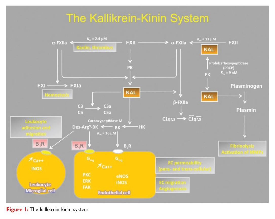 Figure 1 The kallikrein-kinin system diagram