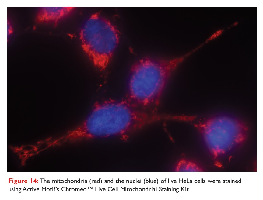 Figure 14 The mitochondria and the nuclei of live HeLa cells were stained using Active Motif's Chromeo Live Cell Mitochondrial Staining Kit