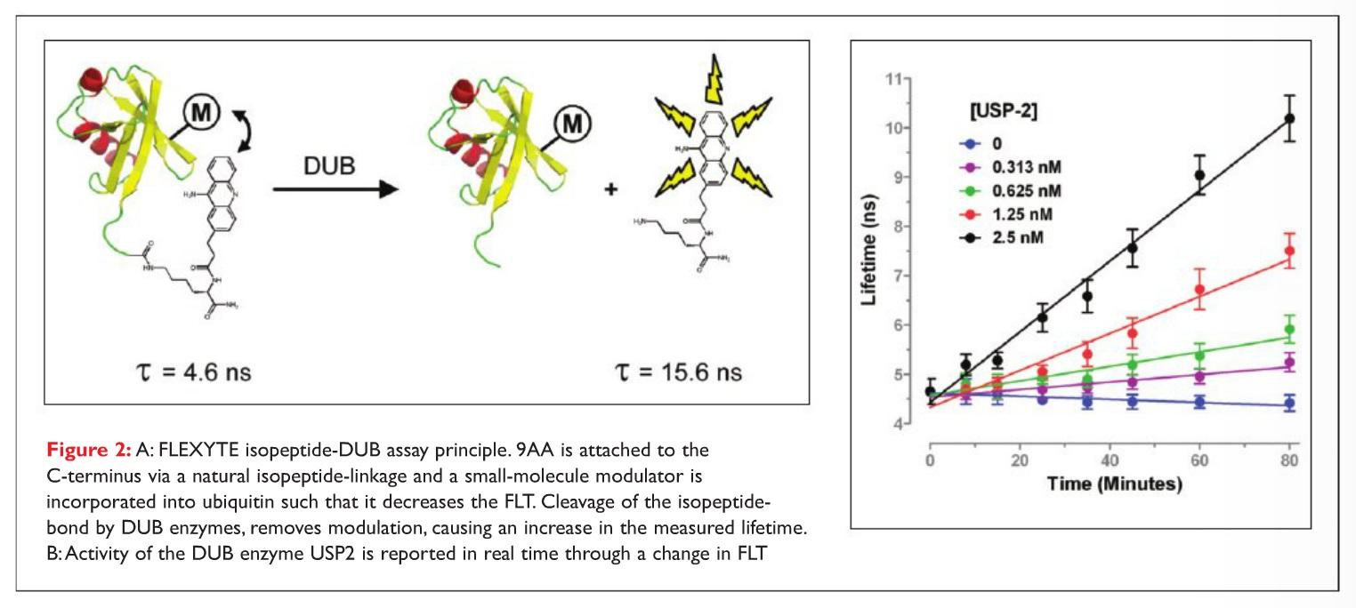 Figure 2 A FLEXYTE isopeptide-DUB assay principle