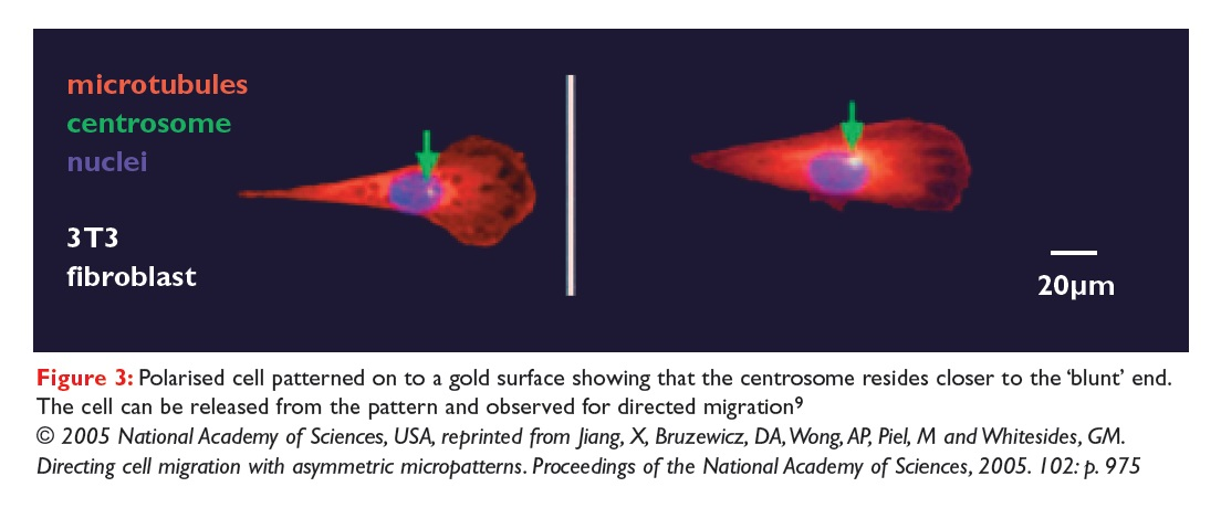 Figure 3 Polarised cell patterned on to a gold surface showing that the centrosome resides closer to the blunt end