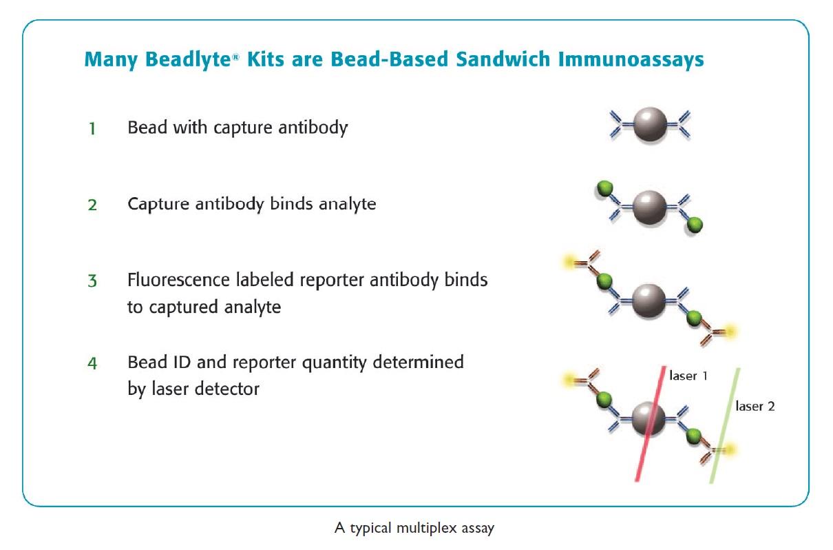 Image 1 Many Beadlyte Kits are Bead-Based Sandwich Immunoassays