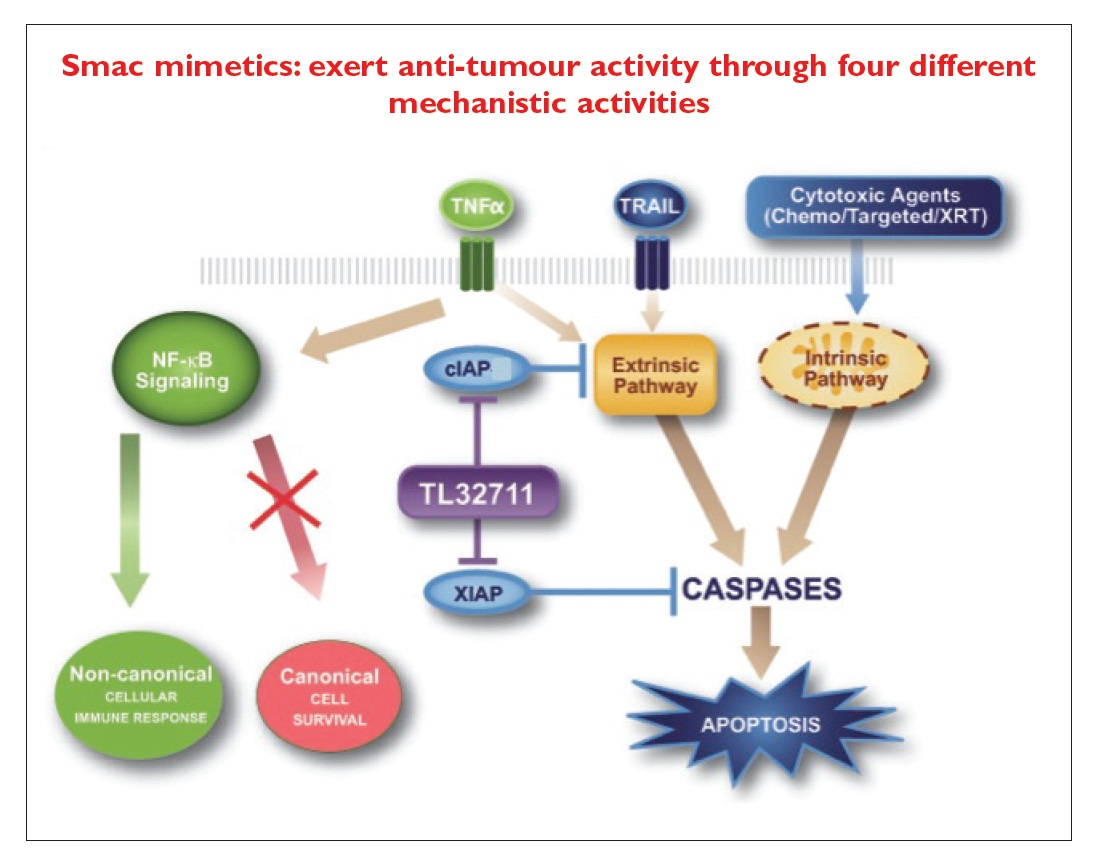 Figure 1 SMAC mimetics exert anti-tumour activity through four different mechanistic activities