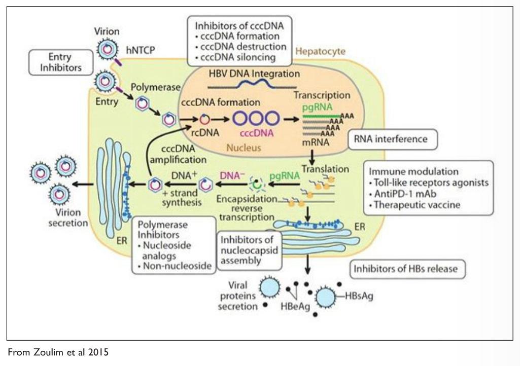 2 Image 3 Hepatitis B Illustration