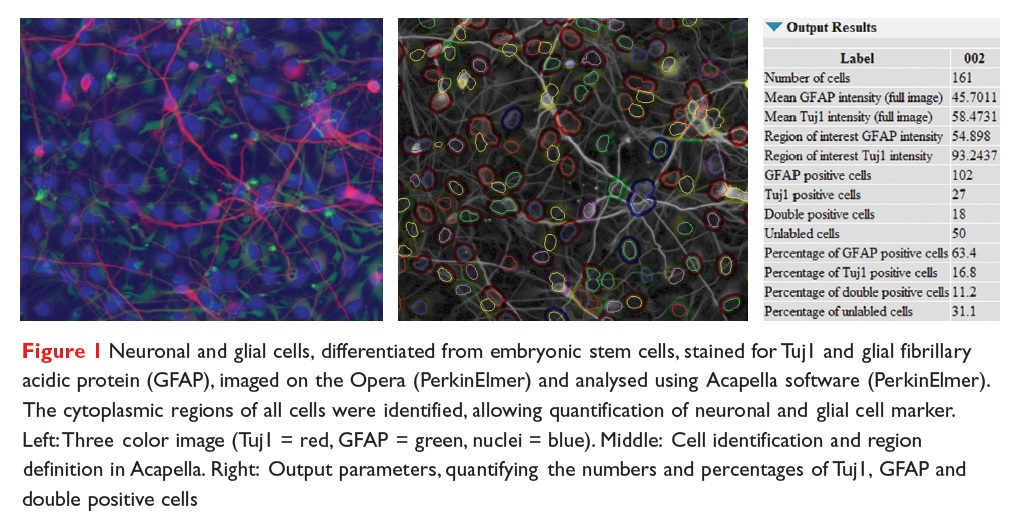 Figure 1 Neuronal and glial cells, differentiated from embryonic stem cells