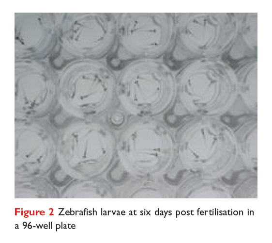 Figure 2 Zebrafish larvae at six days post fertilisation in a 96-well plate