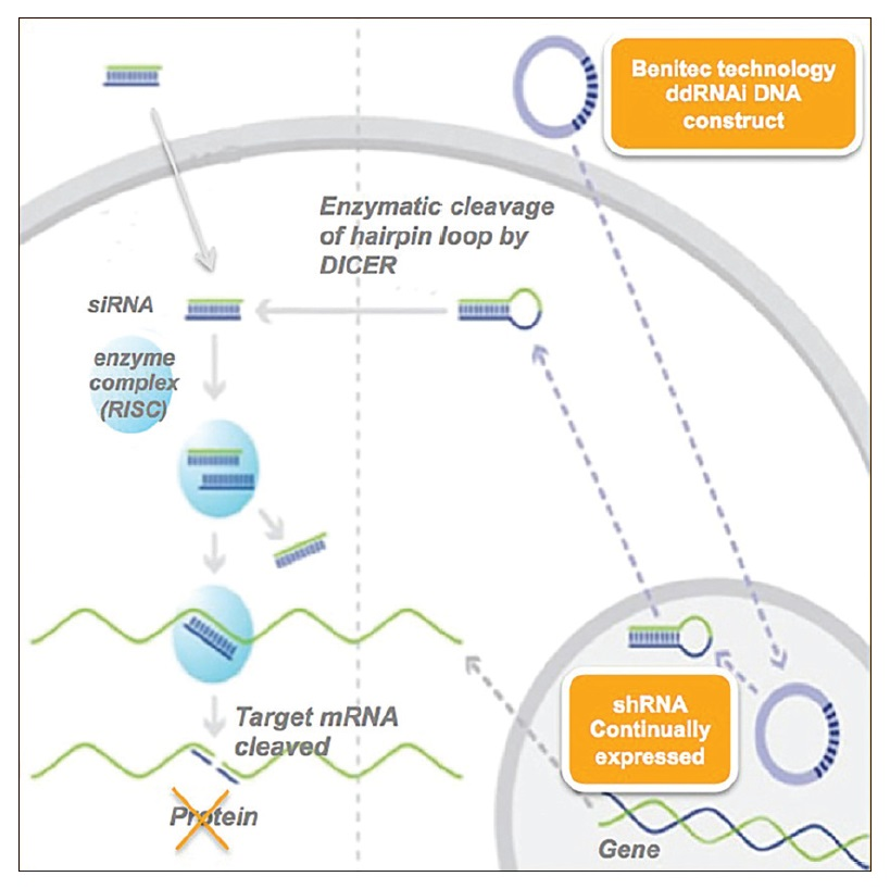 Image 1 Benitec technology ddRNAi DNA Construct & shRNA continually expressed