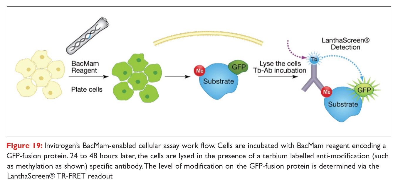 Figure 19 Invitrogen's BacMam-enabled cellular assay work flow. Cells are incubated with BacMam reagent encoding a GFP-fusion protein