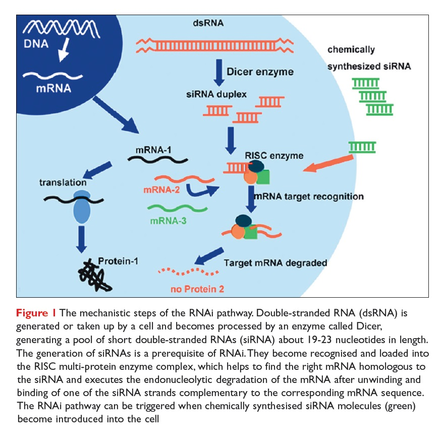 Figure 1 The mechanistic steps of the RNAi pathway