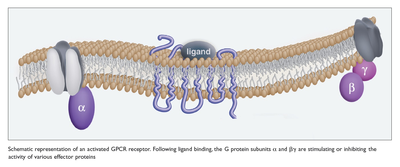 Figure 1 Schematic representation of an activated GPCR receptor