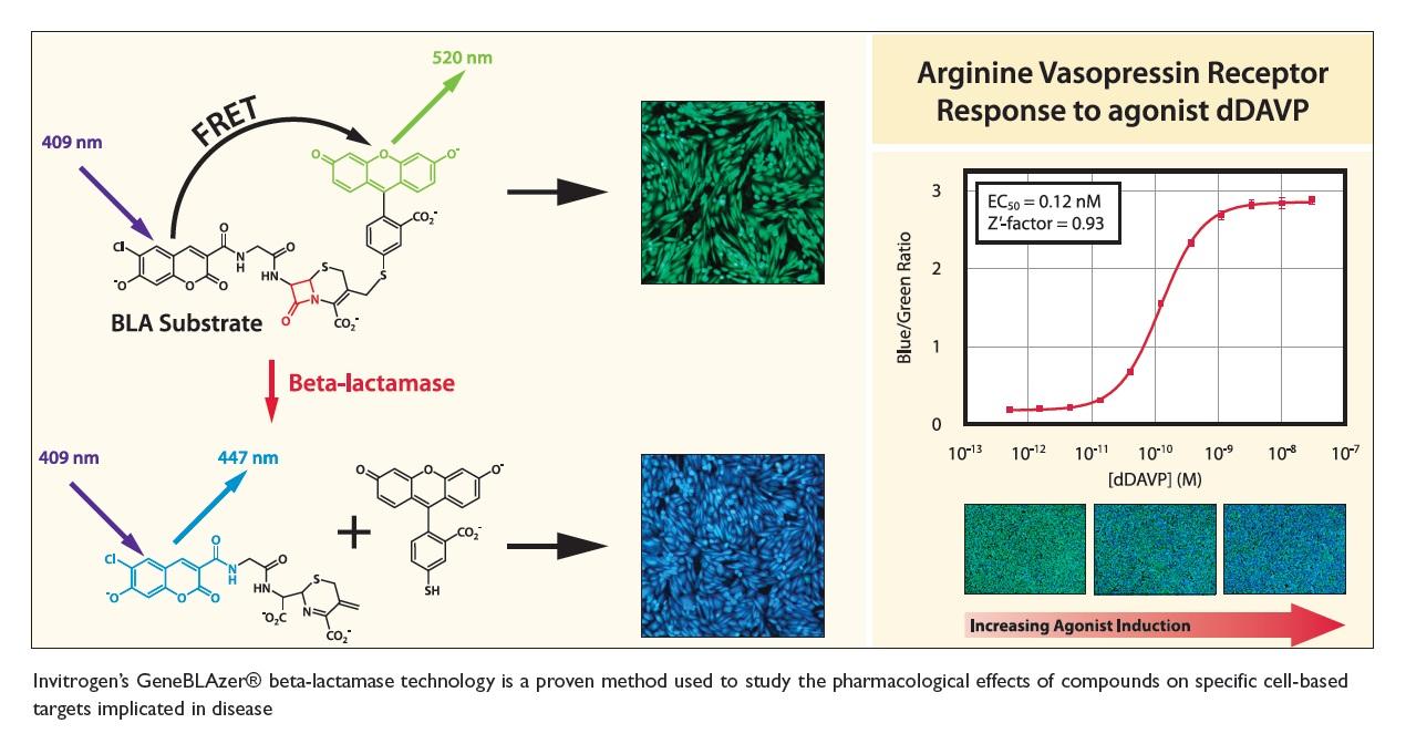 Figure 5 Invitrogen's GeneBLAzer beta-lactamase technology is a proven method