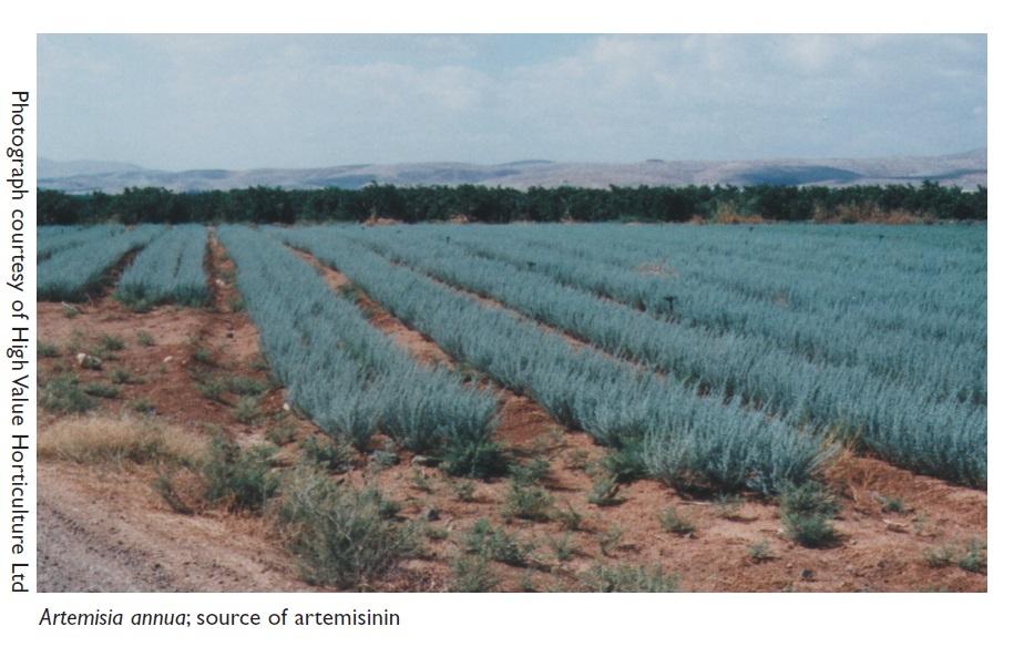 Image 2 Artemisia annua, source of artemisinin