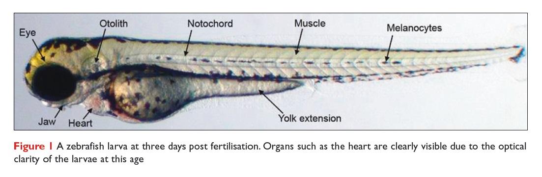 Figure 1 A zebrafish larva at three days post fertilisation