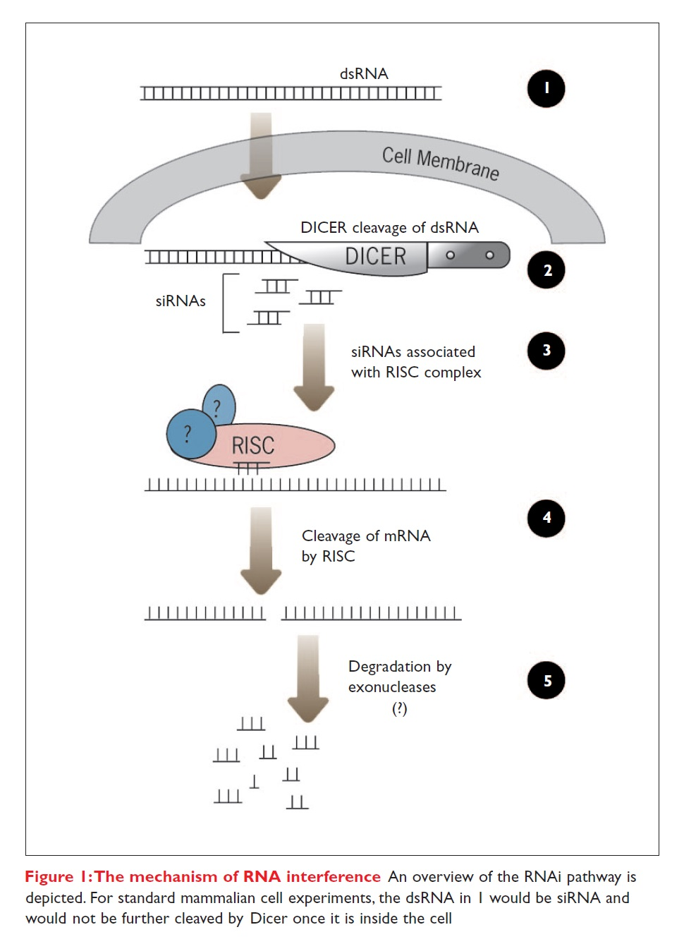 Figure 1 The mechanism of RNA interference, and overview of the RNAi pathway is depicted