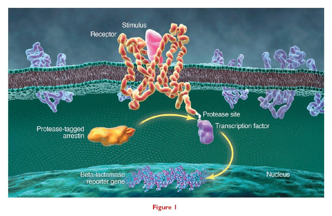 Figure 1 Protease-tagged arrestin, protease site, transcription factor and beta-lactamase reporter gene diagram