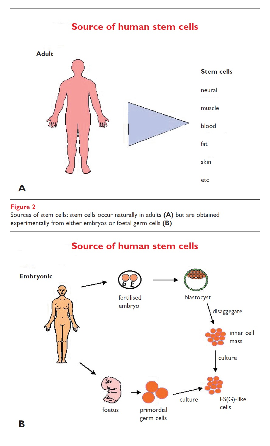 Figure 2 Sources of stem cells: stem cells occur narually in adults but are obtained from either embryos or foetal germ cells