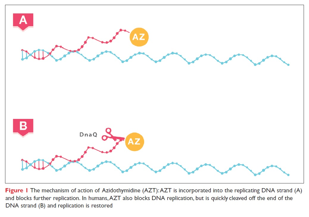 Figure 1 The mechanism of action of Azidothymidine (AZT): AZT is incorporated into the replicating DNA strand (A) and blocks further replication.