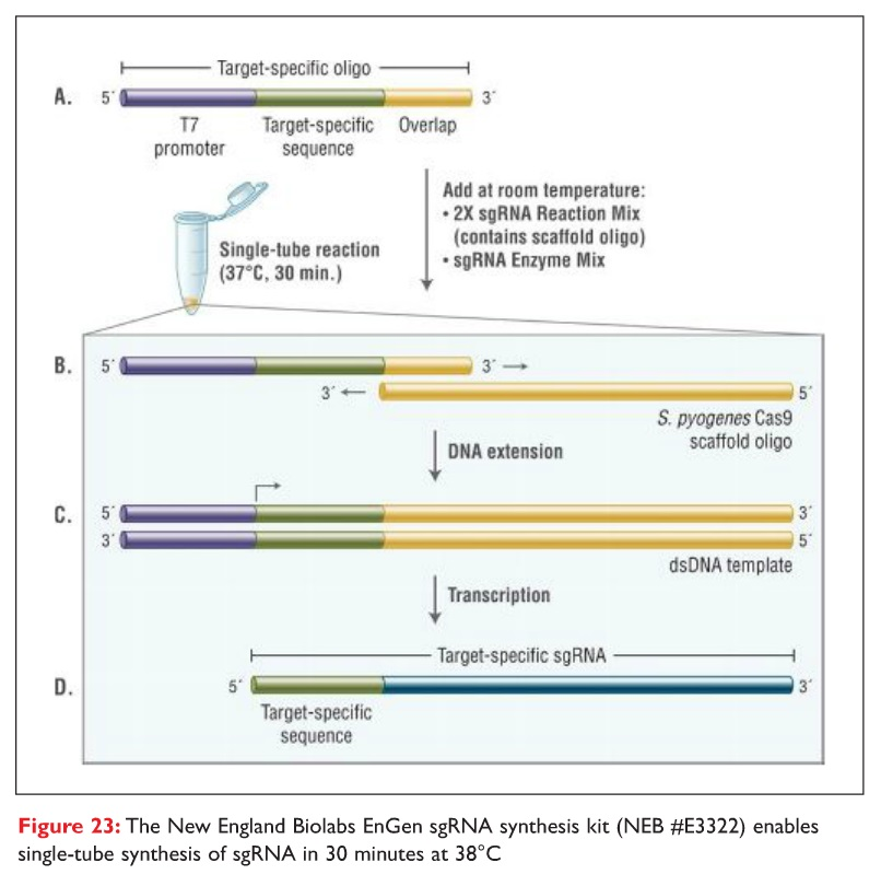 Figure 23 The New England Biolabs EnGen sgRNA synthesis kit