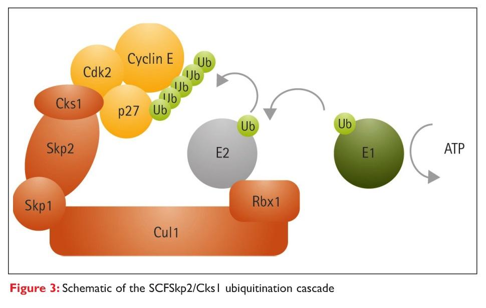 Figure 3 Schematic of the SCFSkp2/Cks1 ubiquitination cascade